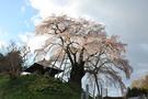 fudou-sakura.jpg