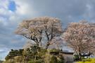 koubou-sakura.jpg