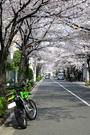 sakura-tunnel.jpg